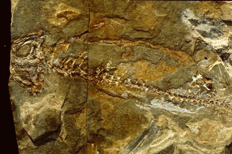 branchiosaurus-petroli-amfibie-niederkirchen-perm-hans-steur.jpg