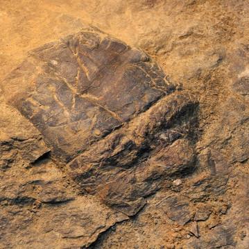 Cupressocrinites crassus