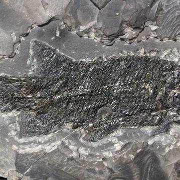 Paramblypterus gelberti Primitieve straalvinnige vis