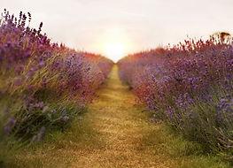 lavender-2706911.jpg
