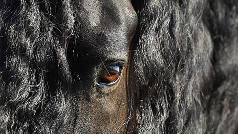 Auge Friesenpferd