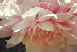 IG filters are extra fun with_#peonies.j