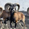 Argali (wild Mongolian sheep)