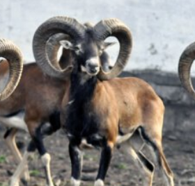 Argali (wild Mongolian sheep)