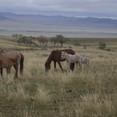 Native Horses
