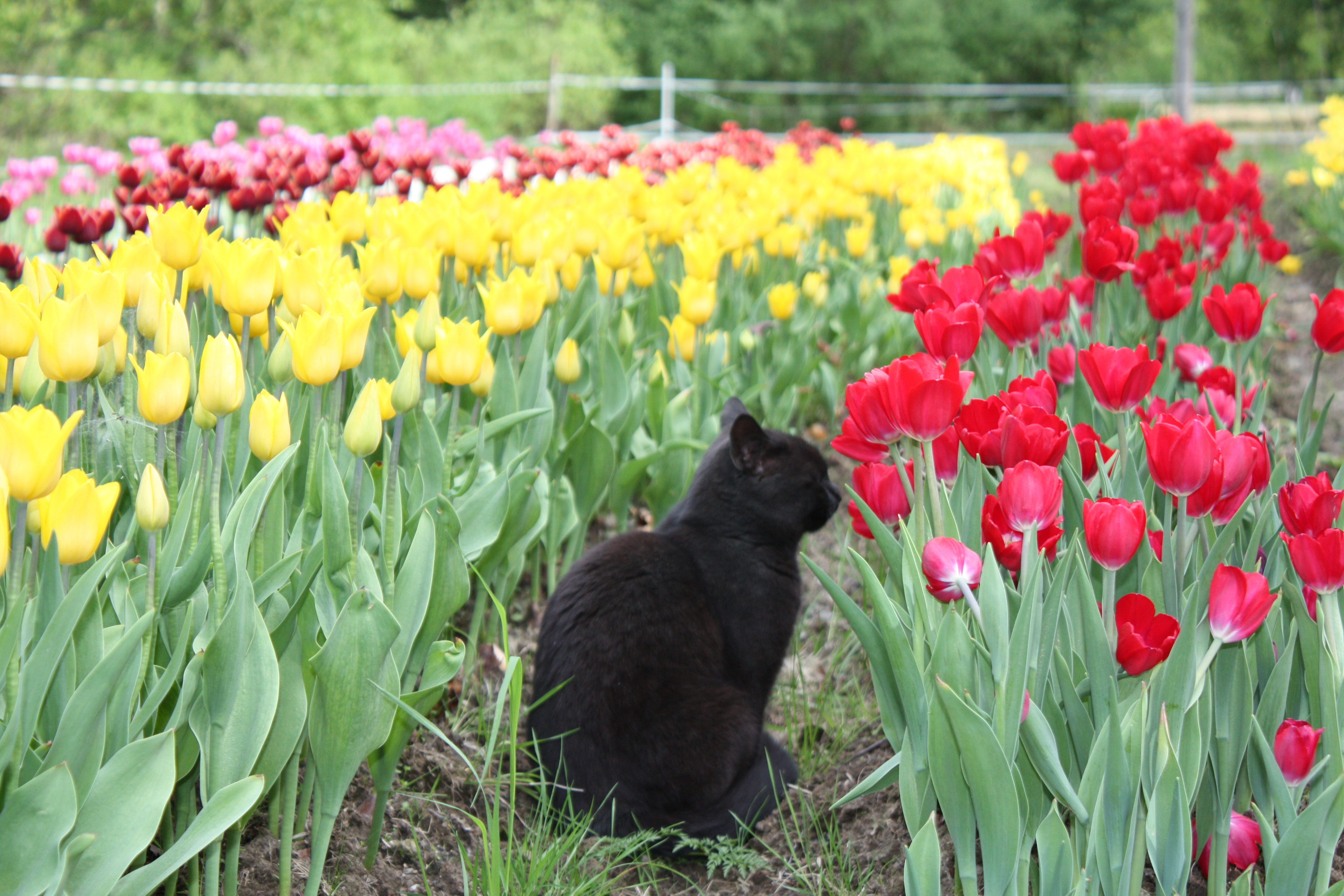 Picking tulip bulbs / tulpanlökar
