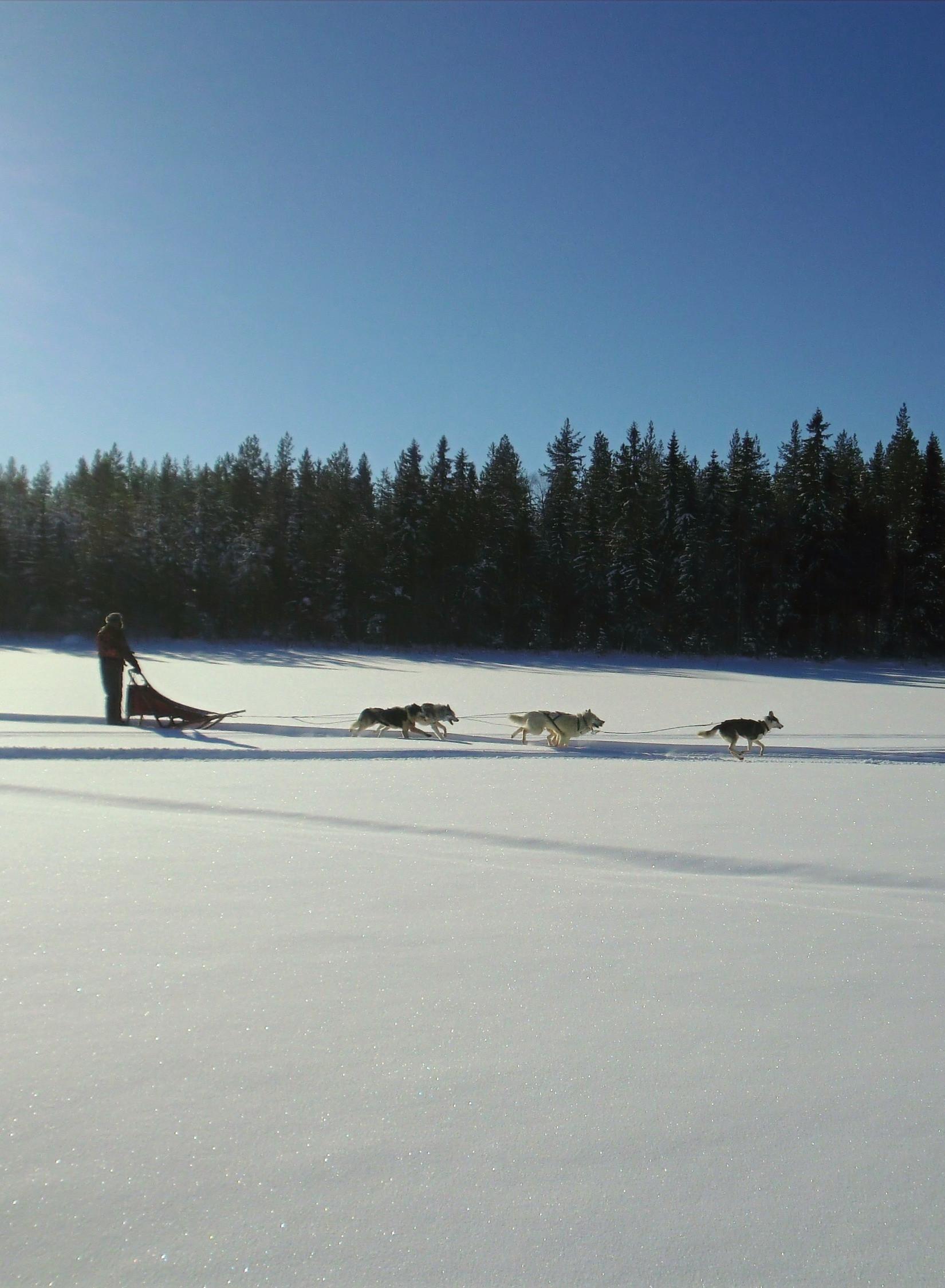 """Dog sledding with """"fika"""""""