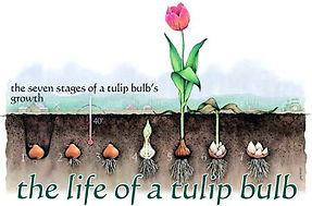 bulb_growth.jpg