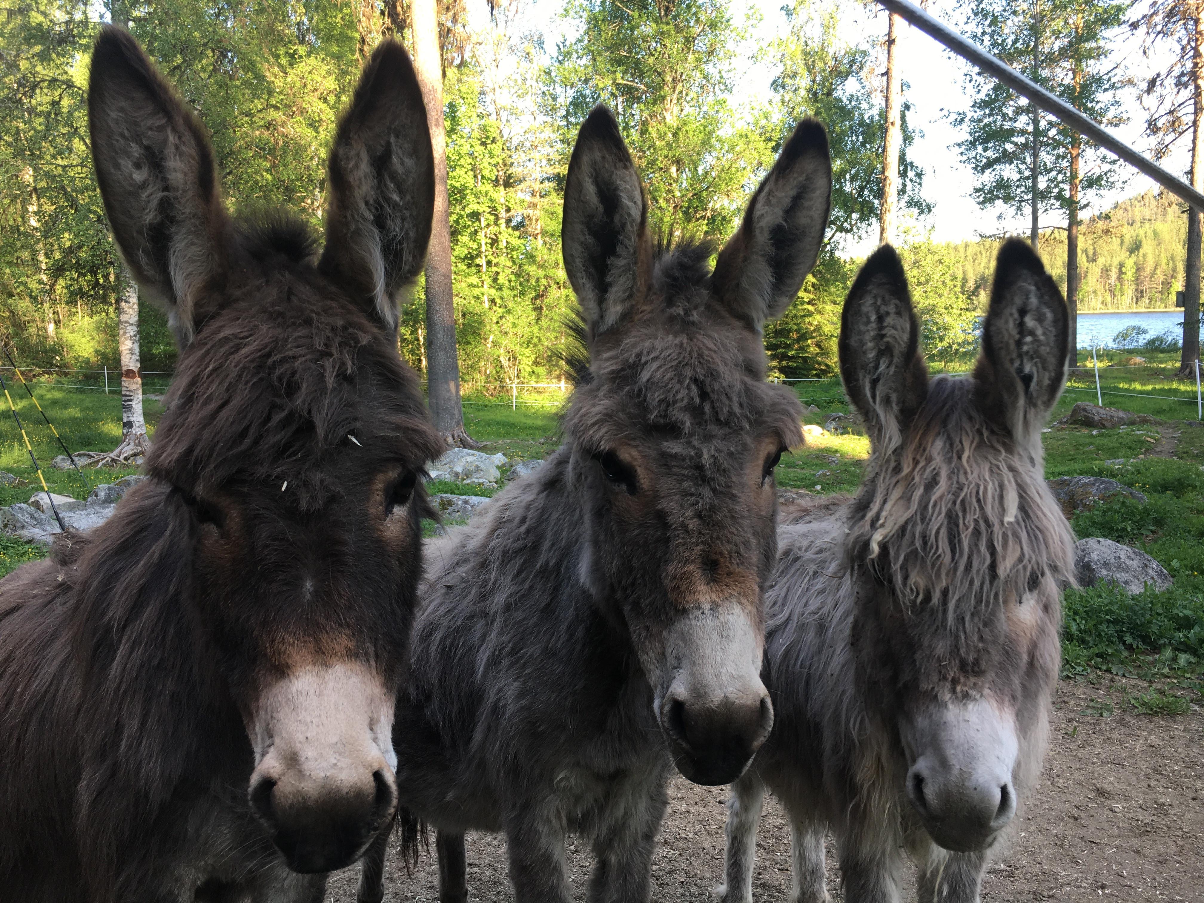 Walk with a donkey