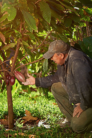 One farmer man with cacao tree in latin