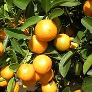 citros.png