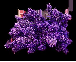 lavenderFINAL.png