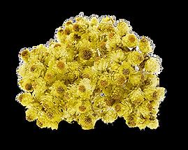 HelichrysumFINAL.png