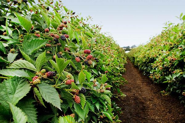 blackberry bush.jpg