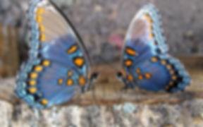butterfly couple.jpg
