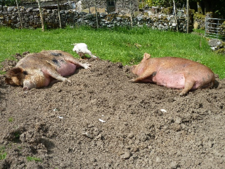domace svinje lchf