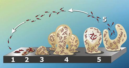 biofilm struktura