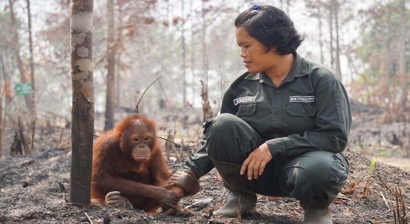 izgubljen orangutan