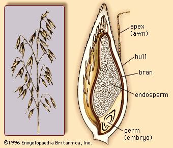 ovas struktura zrna