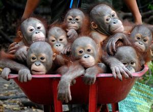 bebe orangutana