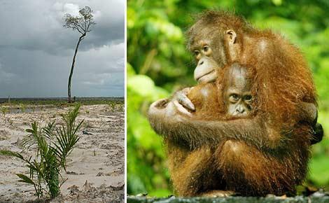 palmino ulje i pomor orangutana