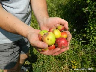 domace jabuke