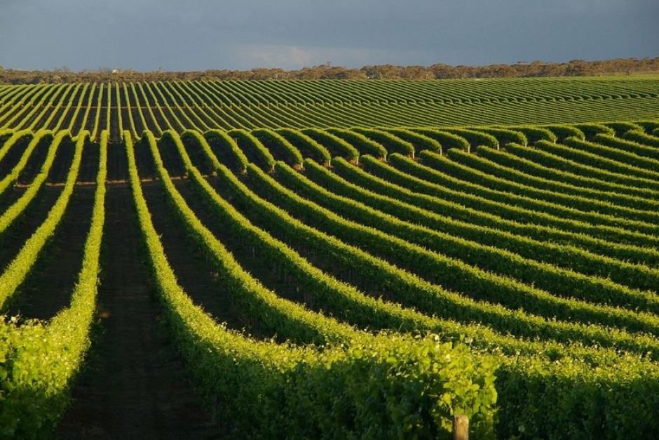 Local grapes Vines
