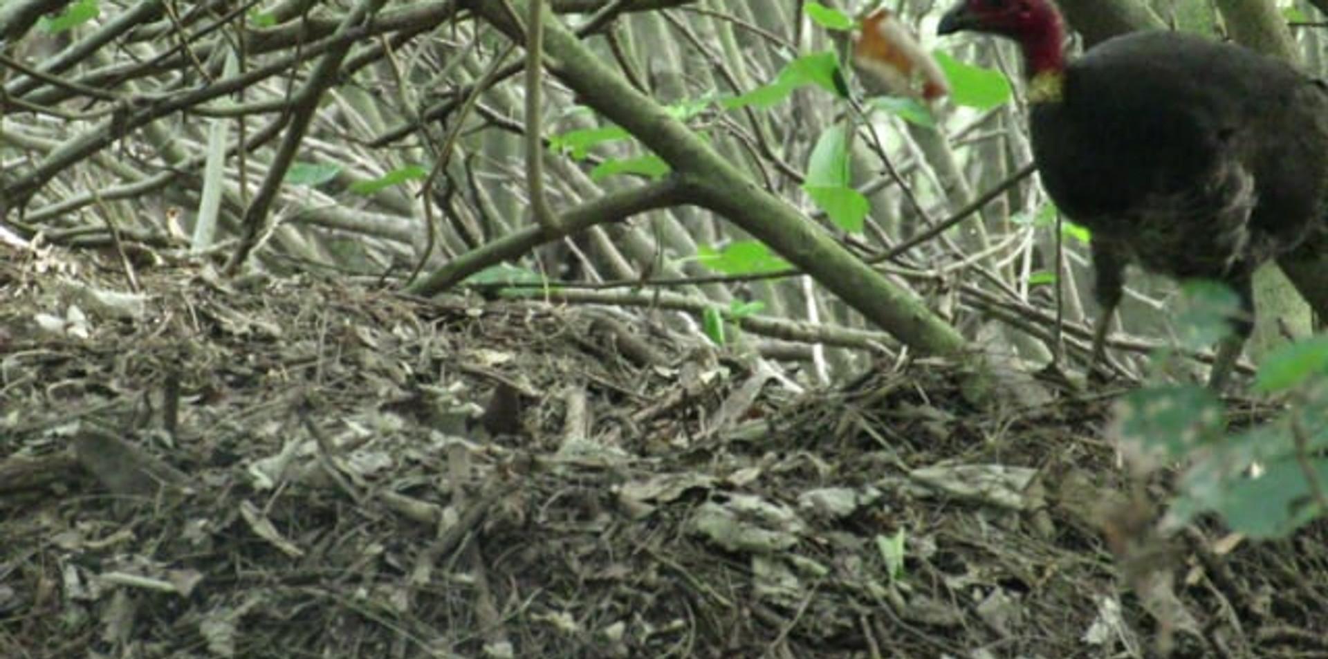 Adult female Australian Brush Turkey digging into mound