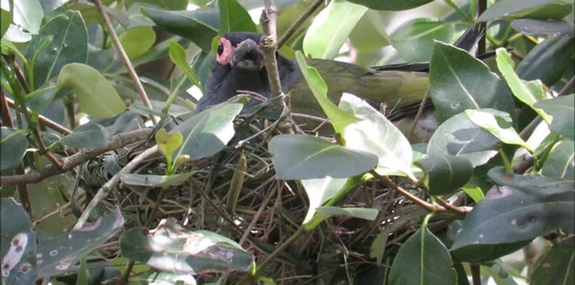 Adult male Australasian Figbird sitting on nest