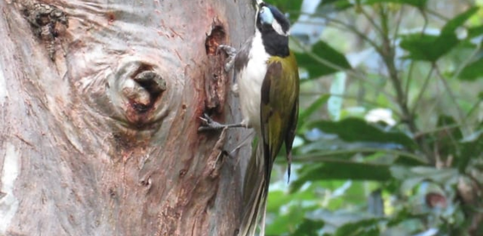 Adult Blue-faced Honeyeater anting