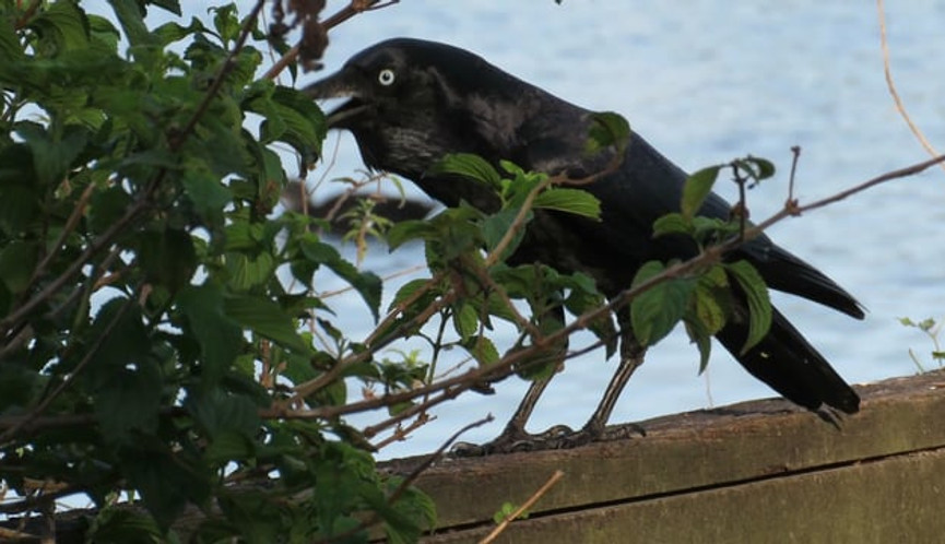 Adult Torresian Crow walking and calling