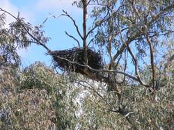 Raptor nest.