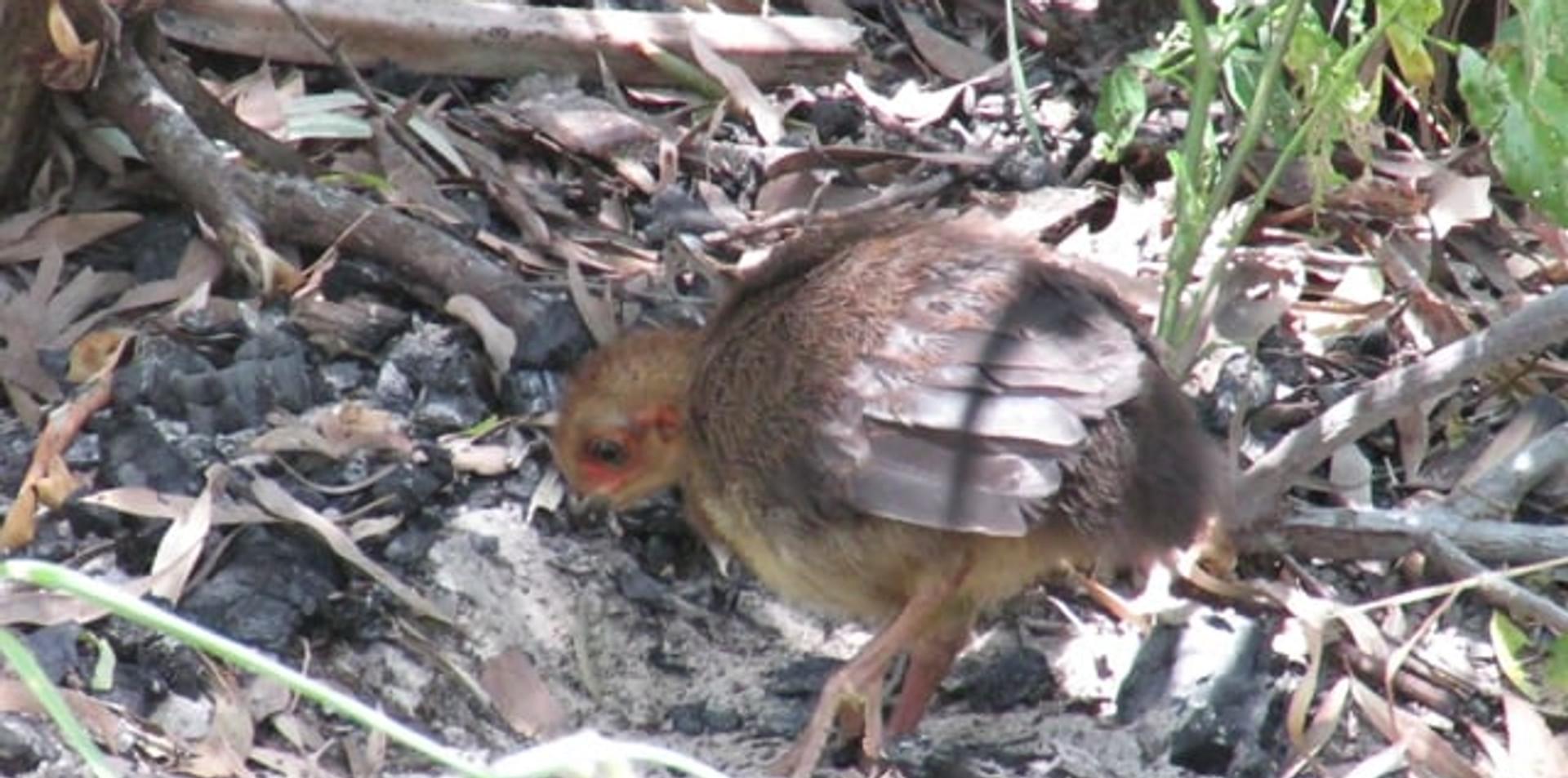 Juvenile Australian Brush Turkey scratching for food