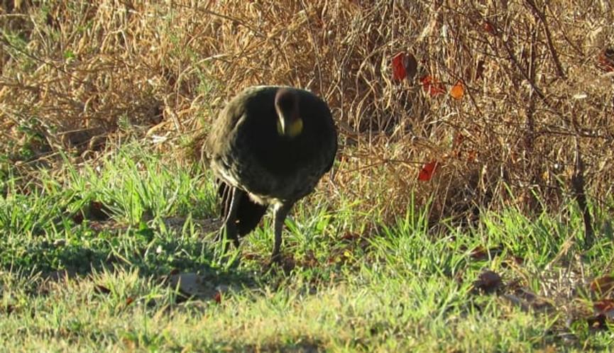 Adult Australian Brush Turkey foraging