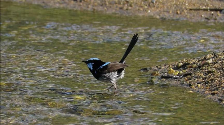 Adult male Superb Fairy-wren bathing in a stream