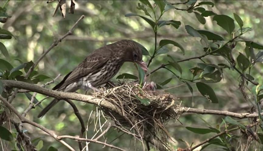 Adult female Australasian Figbird feeding nestlings