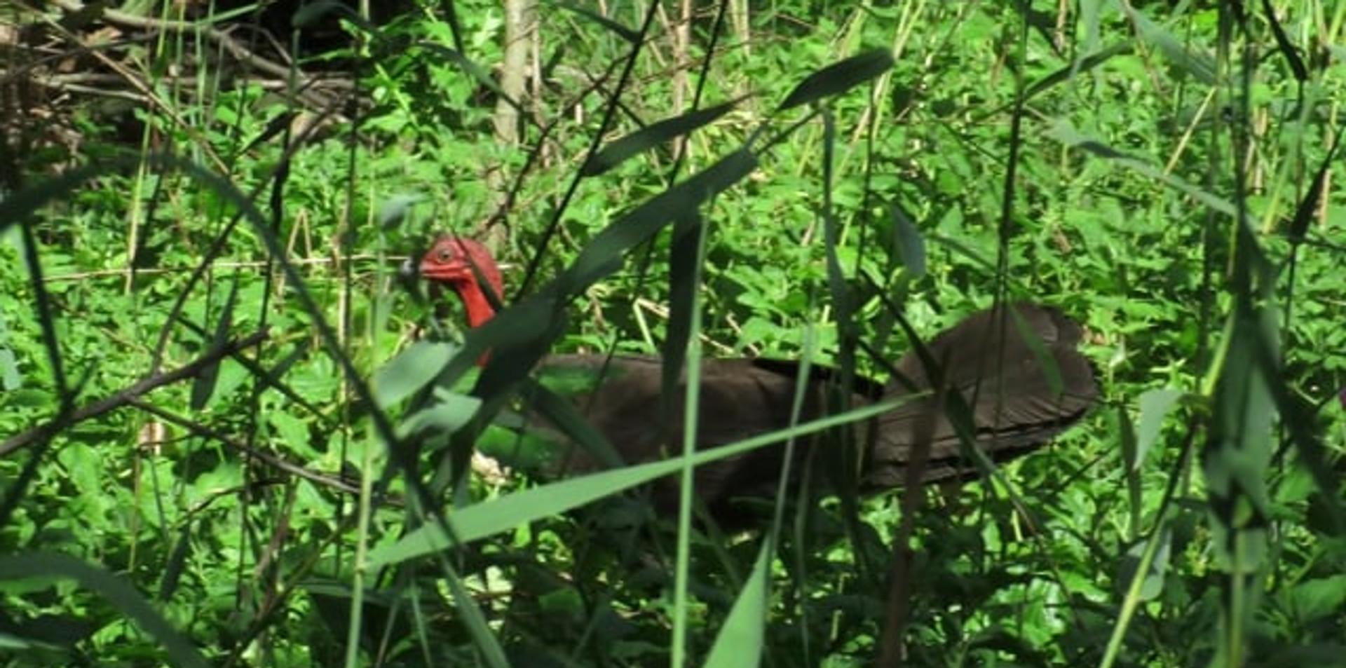 Adult male Australian Brush Turkey walking through vegetation