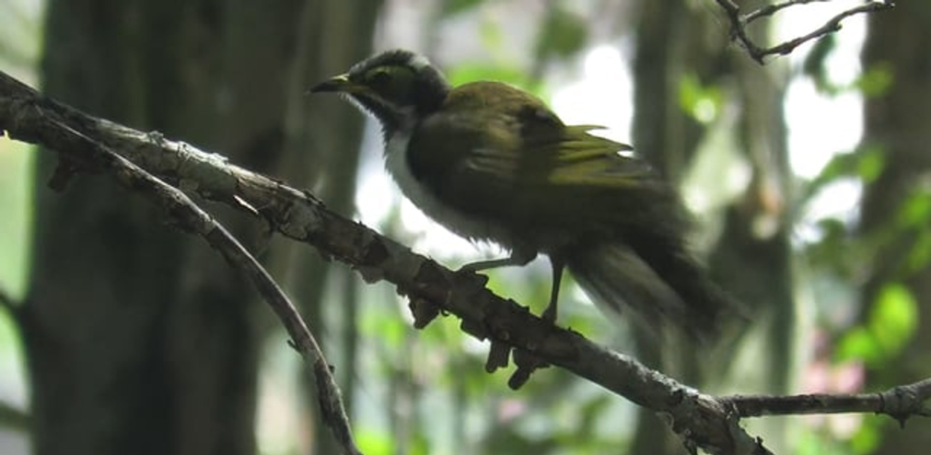 Immature Blue-faced Honeyeater drying out after a bath