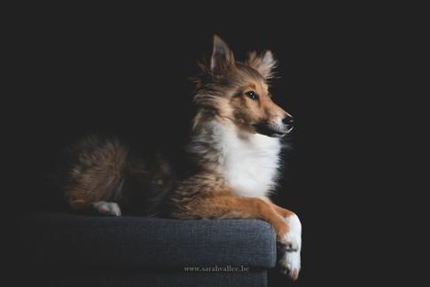 Photos de chien en studio Belgique
