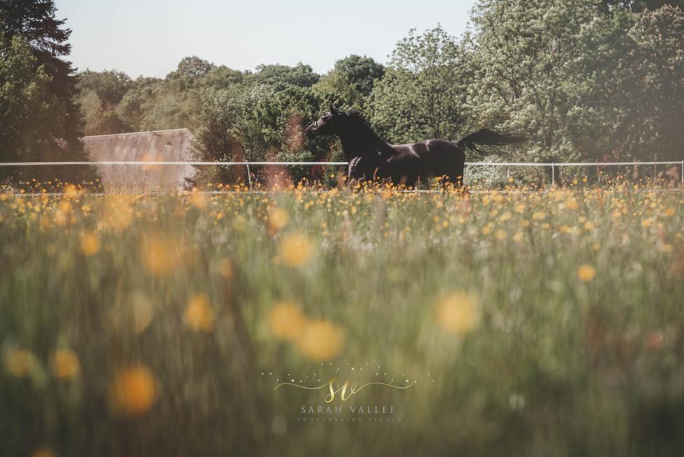 Photographe portrait équestre Belgique