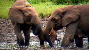Mongabay Podcast on Elephants