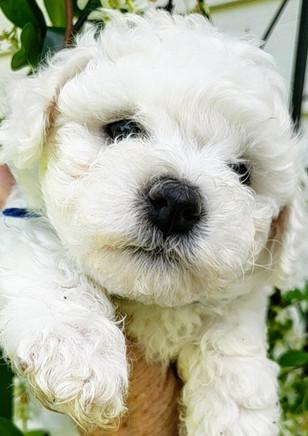 Bichon Pup - Adorable