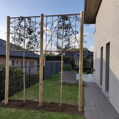 Steeneik Leiboom (Quercus Ilex)