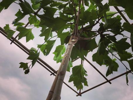 Plaatsing van dakbomen