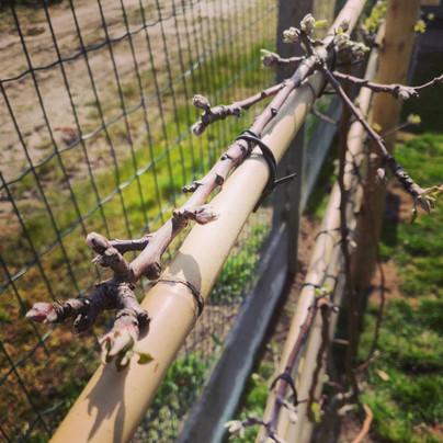 Leiboom Fruit Appel en Peer
