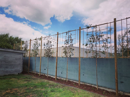 Leibomen en nieuwe border
