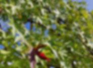 Liquidambar - Amberboom
