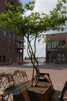 Meerstammige boom op Rode heuvel in Wetteren