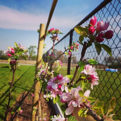 Mooie bloesem op appelboom in leivorm