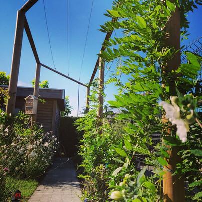 Klimplanten op pergola